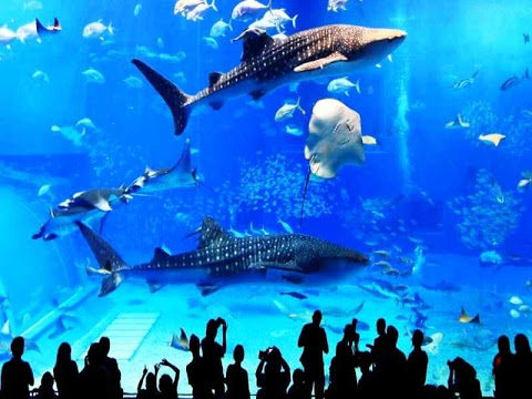 okinawa churaumi aquarium japan 2