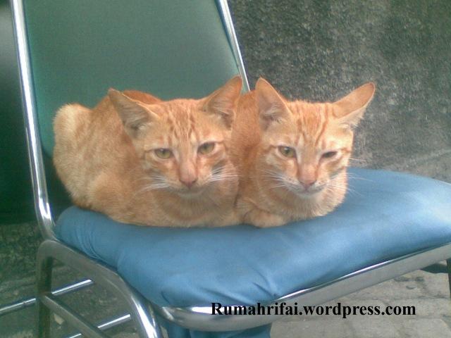 Kucing berkepala Dua