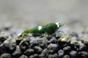 shrimp green lantern