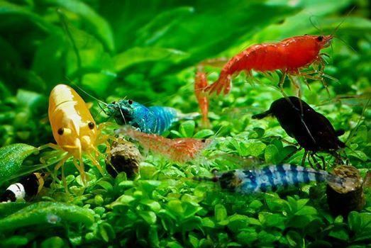 shrimpp